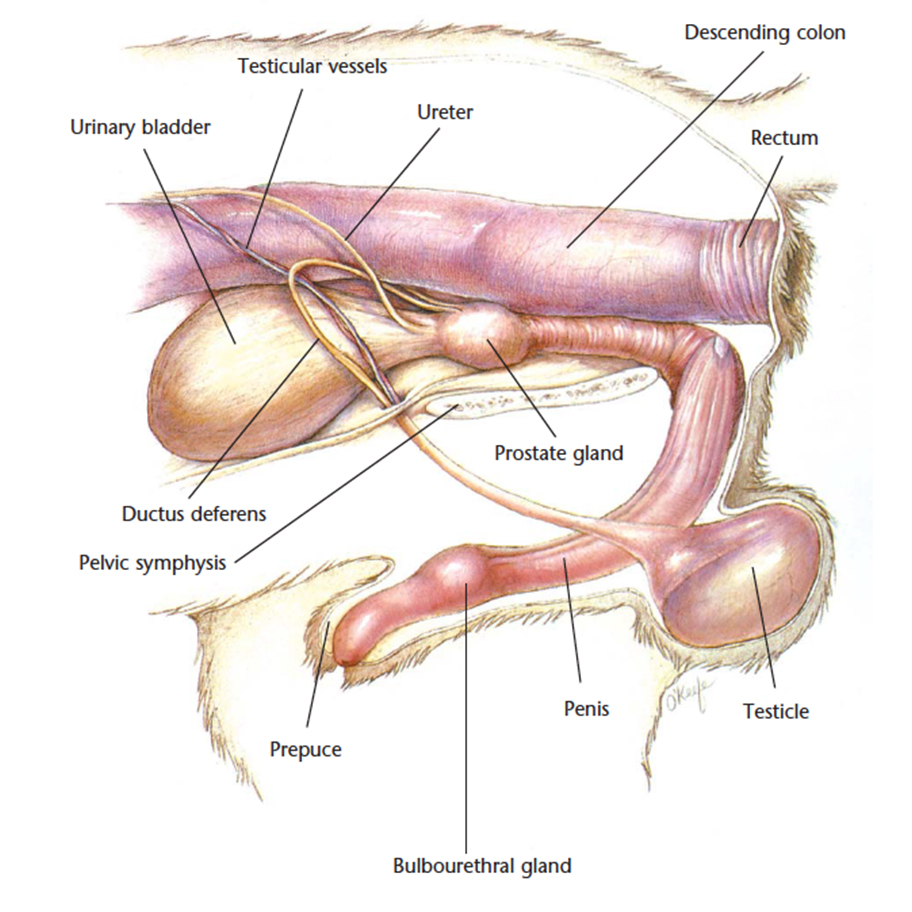Female dog genital anatomy