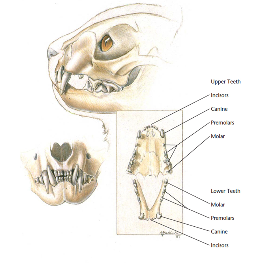 VetCheck Cat Skull illustration