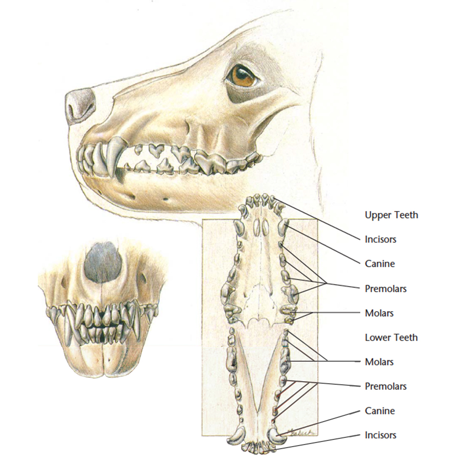 VetCheck Dog Skull and Dental Illustration