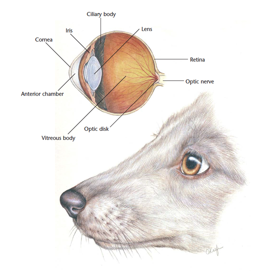 VetCheck Dog Eye Illustration