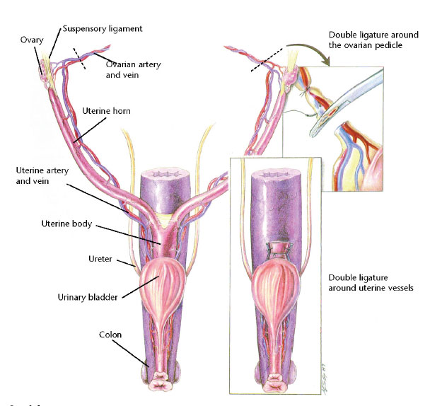 VetCheck Ovaries and Uterus illustration